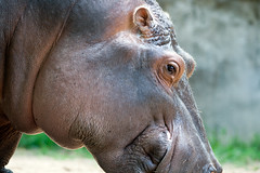 "Hippo profile - Toledo Zoo • <a style=""font-size:0.8em;"" href=""http://www.flickr.com/photos/30765416@N06/11392933114/"" target=""_blank"">View on Flickr</a>"