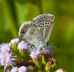 Reakirt's Blue (Echinargus isola) (kaeagles) Tags: flowers blue macro butterfly texas bugs lrgv canon100mmf28 nationalbutterflycenter