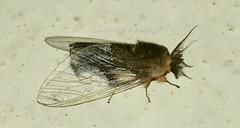 ERE Lym Perina nuda (male) (hkmoths) Tags: hongkong moth lepidoptera newterritories taipo insecta lymantriinae erebidae lamtsuenvalley hongkongmoths perinanuda nationalmothweek taiyeungche