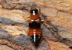 Oxyporus rufus (tristanba) Tags: coleoptera staphylinidae