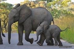 DSC_1800 (Arno Meintjes Wildlife) Tags: africa elephant nature southafrica wildlife ivory safari krugerpark kruger africanelephant loxodontaafricana africanbushelephant arnomeintjes