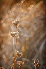 hora dorada (Bogaugon) Tags: sunset summer sol uruguay atardecer gold golden sand weed dune arena dorado mdano d90