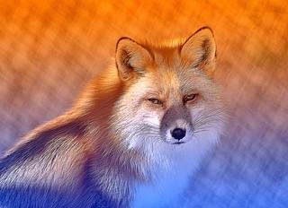 #CrazyCamera fox