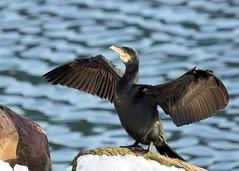 Cormorant wings spread (wespfoto) Tags: winter snow newfoundland harbour battery stjohns cormorant shag wingsspread shagbird {vision}:{outdoor}=0914 {vision}:{sky}=0671