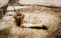 La Souris Déglinguée (nARCOTO) Tags: dead mouse weed mort cannabis joint bedo