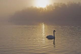 Sunrise Swan