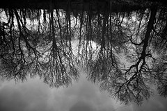 Reflection Trees (mktdg) Tags: trees white black reflection tree water reflected reflect