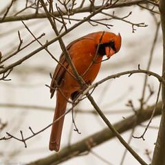 Busy Cardinal (StephenGA) Tags: bird birds cardinal kennesaw 2014 150600mm 60da