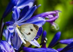 Blue and white (csirnak) Tags: flower macro field leaves bug garden insect botanical hawaii dof bokeh sony maui 100mm sharp tropic depth pedal a99 sal100f28