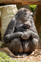 2014-04-17-13h03m20.272P7096 (A.J. Haverkamp) Tags: germany zoo gorilla muenster jamila mnster munster shasha dierentuin westelijkelaaglandgorilla httpwwwallwetterzoode pobmnstergermany canonef500mmf4lisiiusmlens dob06102001 pobhowlettsengland dob28082013
