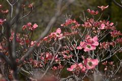Dogwood Blooming (Sotosoroto) Tags: flowers tree washington blossoms arboretum dogwood yakima