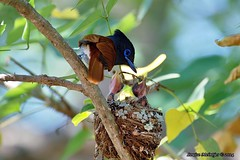 PICT2104 (Arno Meintjes Wildlife) Tags: africa bird nature southafrica wildlife safari krugerpark bird1 wildbird terpsiphoneviridis arnomeintjes africanparadiseflycatcherchicks