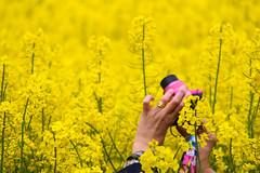 Colorful photographing (Explore 2014-05-12) (Infomastern) Tags: camera pink field yellow hand gull seed rosa rape explore raps kamera photographing rapeseed fav100 fav200 fav300 flt fotograferar 20kviews sd fav400 fotograd