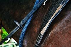 Briglie (cecia.chan) Tags: horses horse cavalli cavallo bridle manto briglie redini