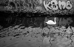 Swan and graffiti (carloprisco) Tags: blackandwhite bw water animals river gteborg graffiti swan sweden gothenburg sverige scandinavia