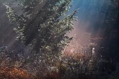 sunrise sunbeams in misty forest (Olha Rohulya) Tags: morning autumn light wild orange sunlight mist holland tree fall nature netherlands dutch grass sunshine misty fog contrast forest sunrise season landscape outside outdoors gold countryside early bush scenery silent view seasonal scenic nobody nopeople calm beam spruce sunbeam tranquil friesland coniferous