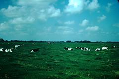1954- Cows Nr Bolsward- Holland (foundslides) Tags: vacation holiday holland film netherlands dutch amsterdam vintage europa europe tour kodak nederland thenetherlands 1954 slide tourist 1950s kodachrome slides foundslides oldphotos redborder johnrudd irmalouiserudd