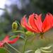 Gloriosa Lily, Ethiopia