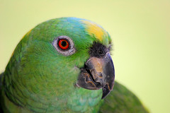 2817219550045877148OzokHR_fs (eslingermj) Tags: rescue bird birds portraits canon parrots sanctuary macaws birdportraits thegabrielfoundation mjeslinger mjesli