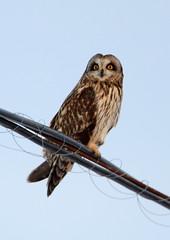 Short-eared Owl (Asia flammeus) SEOW (burlingamelarry) Tags: pennsylvania raptors owls eared seow birdonawire otw shortearedowl springboro beavercenter asiaflammeus