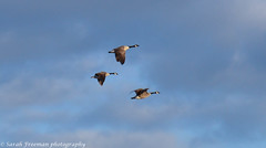February 01, 2015_-3.JPG (sjfreeman88) Tags: blue winter sky canada flying geese wildlife trust migration staffordshire stafford marshes wildfowl doxy doxey