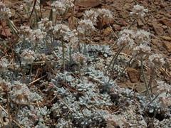 Purpus buckwheat, Eriogonum kennedyi var. purpusii (Jim Morefield) Tags: bishop california unitedstates polygonaceae buckwheatfamily eriogonum eriogonumkennedyi eriogonumkennedyivarpurpusii wfgna flora flowers purpusbuckwheat monocounty bentonrange spring cnpsok greatbasin jdm20120139 taxonomy:family=polygonaceae taxonomy:genus=eriogonum taxonomy:binomial=eriogonumkennedyi taxonomy:common=purpusbuckwheat taxonomy:trinomial=eriogonumkennedyipurpusii geo:alt=2040m pink white 6petals roundcluster flower angiosperm dicot wildflowers wildflower olympus evolt e510 olympuse510 eriogonoideae