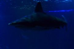 Requin gris (1) (Mhln) Tags: paris aquarium requin poisson trocadero poissons meduse 2015 cineaqua
