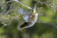 Silvereye (timohannukkala) Tags: newzealand bird nature animal nationalpark nikon nz tongarironationalpark tongariro d7100 manawatuwanganui silvereyewildlife