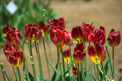 _DSC9351 (aeschylus18917) Tags: flowers flower nature japan spring tulip   tulipa ibaraki 80400mm liliaceae hitachinaka cultivar ibarakiken     hitachinakashi hitachiseasidepark danielruyle aeschylus18917 danruyle druyle   kokueihitachikaihinken