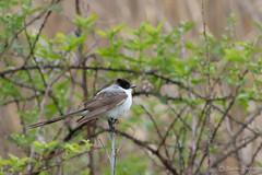 Fork-tailed Flycatcher (Tyrannus savana) (Susan Jarnagin) Tags: bird wildlife nj monmouthcounty flycatcher tyrannussavana forktailedflycatcher assunpinkwma