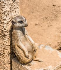 Chilling Erdmnnchen Siesta (tomac_foto) Tags: zoo tiere outdoor natur chilling siesta tierpark tier erdmnnchen 2016