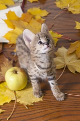 L'UNICORNE (Ulyana Lunicorne) Tags: pet cats pets hot cute love beautiful cat kitten kitty exotic domestic meow luxury exclusive serval pur      cattery      catmoments  catmoment   lunicorne servaldomestic