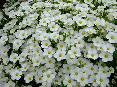 Arenaria montana 'avalanche' (yewchan) Tags: flowers flower nature colors beautiful beauty closeup garden flora colours gardening vibrant blossoms blooms lovely arenaria arenariamontana