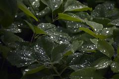 Rainy England (Ingleberry2000) Tags: blue plants white green nature wet water leaves rain dark droplets shadows cloudy ominous rainy