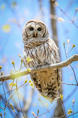 Barred Owl-Hello, it is me again (fsong) Tags: owl barred