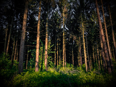 Evergreen (Civilis Brutus) Tags: trees tree pine forest bomen woods nikon boom foliage evergreen spar bos woud naaldbos naaldbomen fortmond p7800