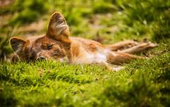 Dont Disturb Me (photoga photography) Tags: england nature animals canon wildlife westmidlandsafaripark animalkingdomelite photogaphotography