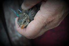 Free as a bird ? (johan van moorhem) Tags: home birdie garden freedom belgium belgique belgi westvlaanderen tuin thuis captivity flanders vlaanderen vrijheid beernem gevangenschap vogeljong