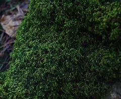 Rockwood_2016_08 (rdaniel2) Tags: plant macro green forest moss