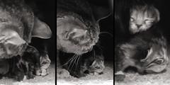 20160410_GorgeousBabies_V1200x600 (Creativeleigh Shot...by LeighAnneD) Tags: cats cat feline outdoor kittens neighborhood litter felines
