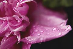 DSC_1351 (badtobone_) Tags: flower macro watermark