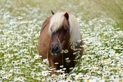 Pony (MyWorldsView) Tags: horse nature animal nikon wildlife natur wiese pony daisy pferd kamille margeriten