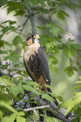 Falcon (Cat Girl 007) Tags: wild portrait tree bird nature closeup outdoors wings wildlife beak raptor falcon perch perched hunter predator winged ornithology birdofprey talons plumage
