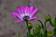 margherita (ecordaphoto) Tags: flower macro verde green primavera nature spring nikon purple tag natura viola dx 55300 d5100