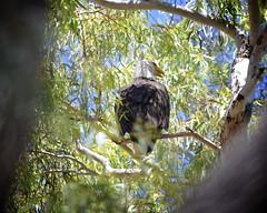 "Baby Bald Eagles ""eaglets"" week 13   12 (Gritsgal Photo's) Tags: bald eagles baldeagles"
