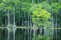 Cypress Swamp (FiddleFlix) Tags: trees usa green water northcarolina cypress edenton baldcypress ncbirdingtrail bennettsmillpond
