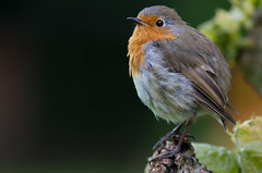 Robin with no tail feathers (Mukumbura) Tags: tree bird nature robin garden britain robinredbreast tailless