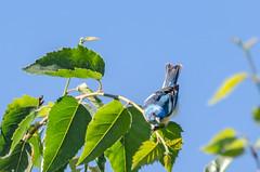 Lazuli Bunting (zxorg) Tags: colonyfarms coquitlam bc bird perchingbird lazuli bunting