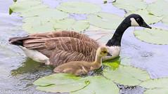 Canada goose and gosling (Jeff Derbys) Tags: gosling canadagoose brantacanadensis shipleycountrypark mapperleyreservoir
