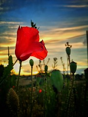 Papaveri al tramonto (LuciaR.Photo) Tags: flowers sunset apple photography tramonto natura dettagli papaveri iphone passione iphonography iphone6 luciaruffini luciaruffiniphotography
